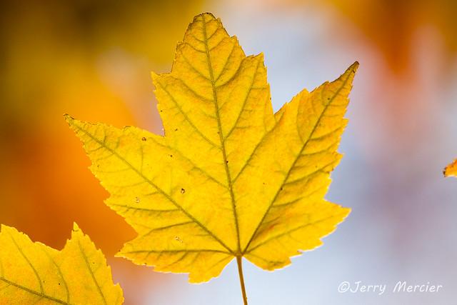 _MG_5828 - Fall golds.
