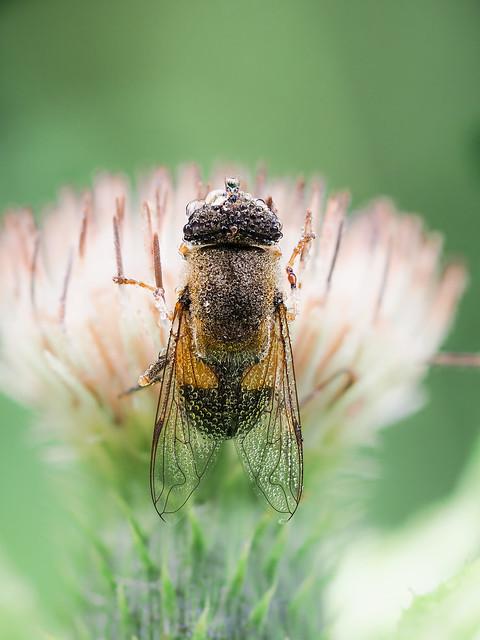 Schwebfliege / Hoverfly (Syrphidae)