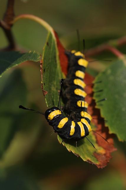 Alder Moth larva (Acronicta alni)
