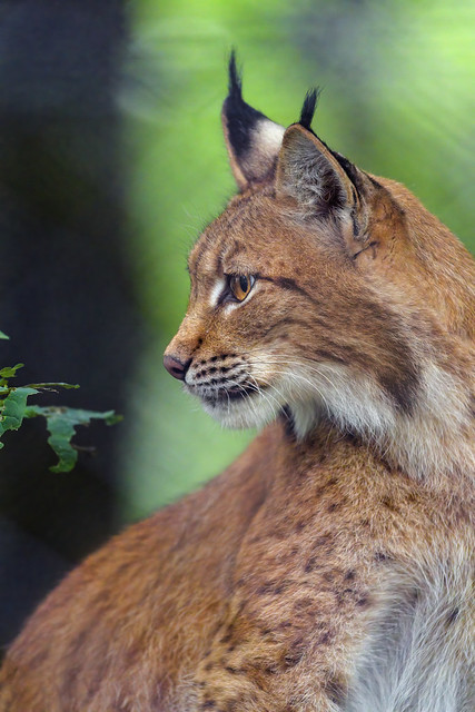 Another profile portrait of the mother lynx
