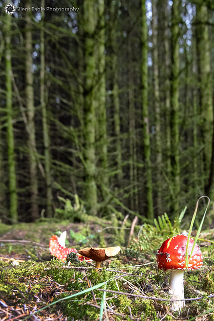 Red fly agaric mushroom, Callender, Scotland