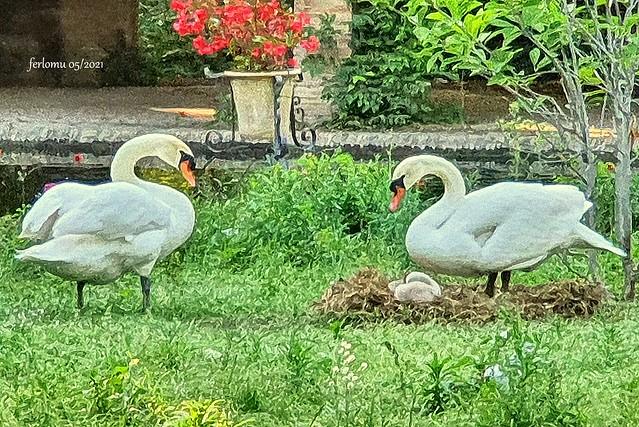 59 Familia de cisnes. Parque de María Luisa. Sevilla 20210520