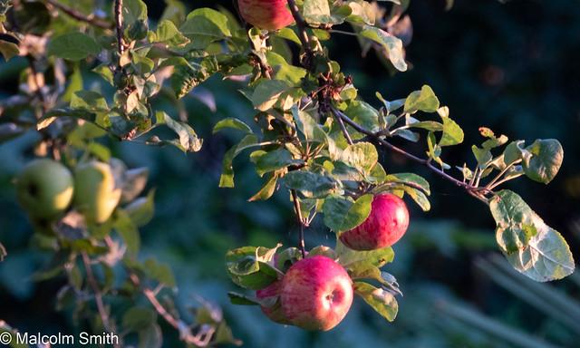 August Apples