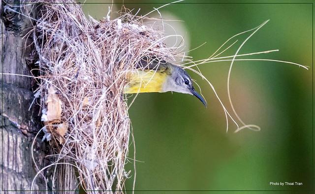 Birds build nests - Olive- backed sunbird ( Female )