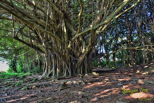 wood trees tropical usa outdoors island park nature landscape hawaii d810 forest green nikon