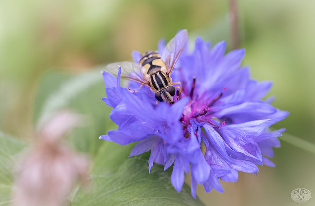 cornflower with a hungry visitor