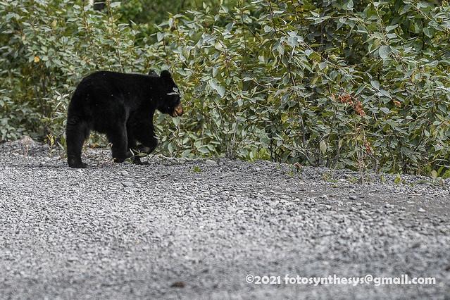 Kenai Black Bear (Ursus americanus perniger) cub DSD_1037