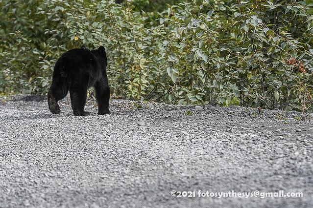 Kenai Black Bear (Ursus americanus perniger) cub DSD_1036