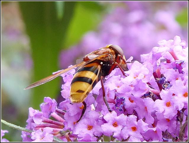 Bee on a Buddleia Flower ..