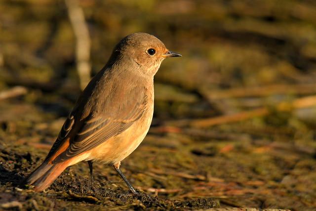 Rougequeue à front blanc - Common Redstart (Phoenicurus phoenicurus)