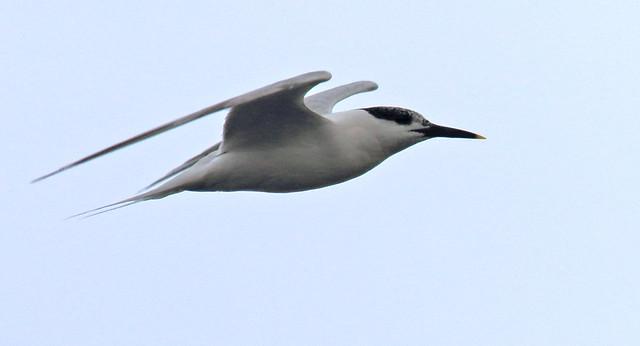 Sandwich Tern?