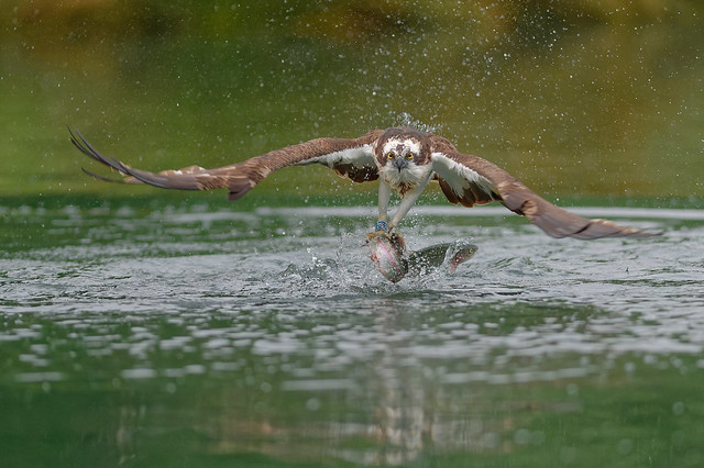 Osprey Reprise
