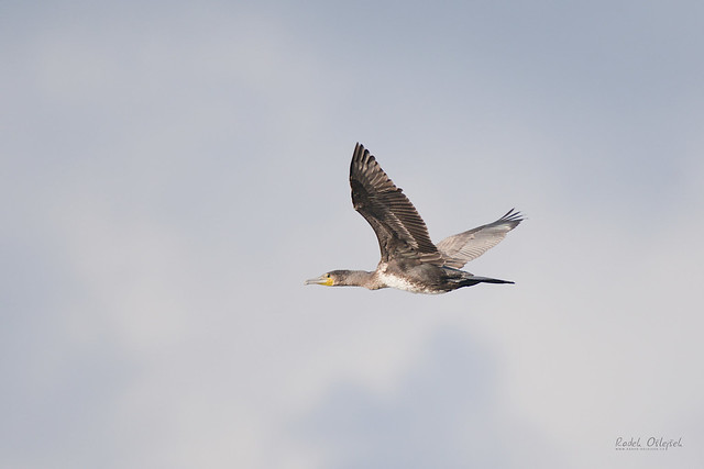 Great cormorant, kormorán velký, SVK, 2021