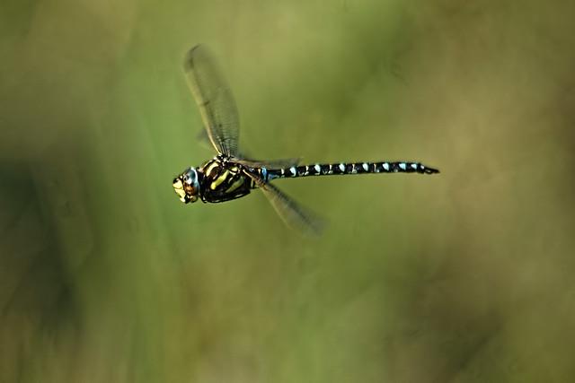 Common Hawker (M) (Aeshna Juncea)