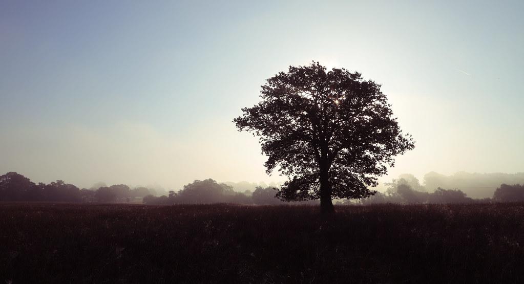 Bepton Oak Tree