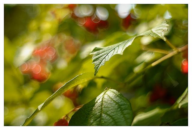 Highbush Cranberry_DSC_2751
