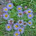 Tansyleaf Spike Asters