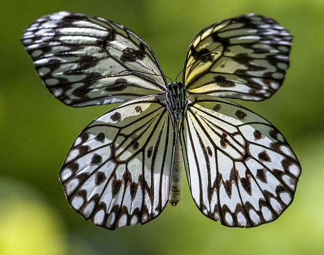 Paper Kite Butterfly in flight, Fairchild Tropical Botanic Garden.