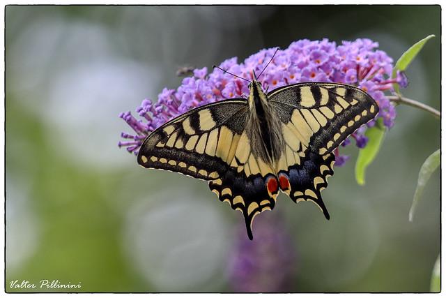 Papilio machaon.