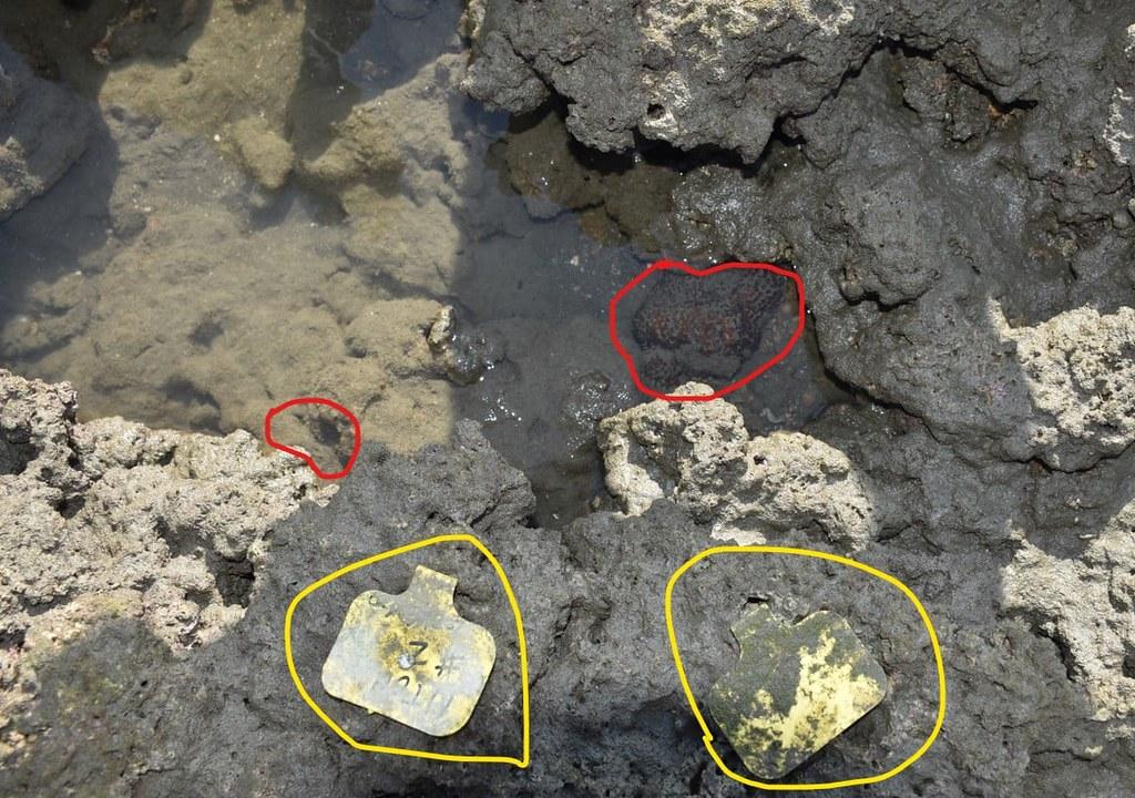 大潭藻礁柴山多杯孔珊瑚遭到泥沙活埋。圖片來源:潘忠政臉書