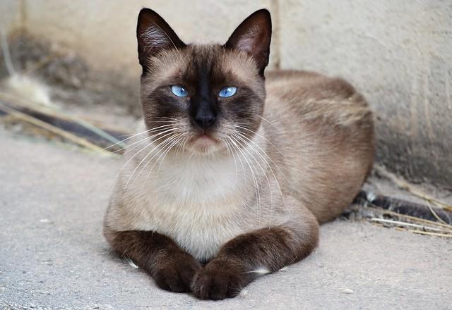 Lovely siamese cat 💙