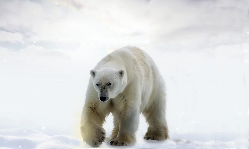 Des ours polaires sont consanguins à cause de la perte de glace de mer
