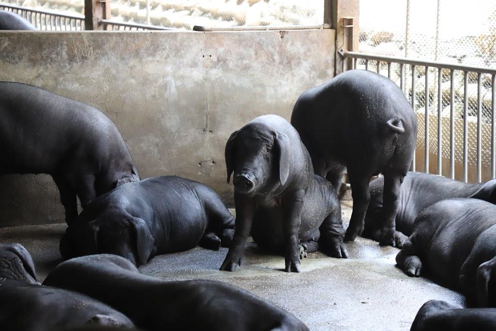 20210908台灣科技媒體中心非洲豬瘟記者會。豬隻一旦受到非洲豬瘟病毒感染,死亡率高達100%,且目前仍無有效的藥物及疫苗可預防。照片來源:陳吉仲臉書