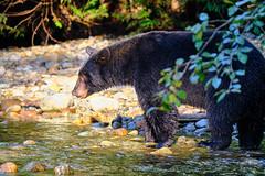 Fishing Bear 4