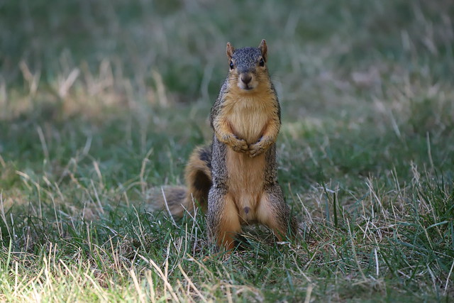 Fox Squirrels in Ann Arbor at the University of Michigan on September 7th, 2021