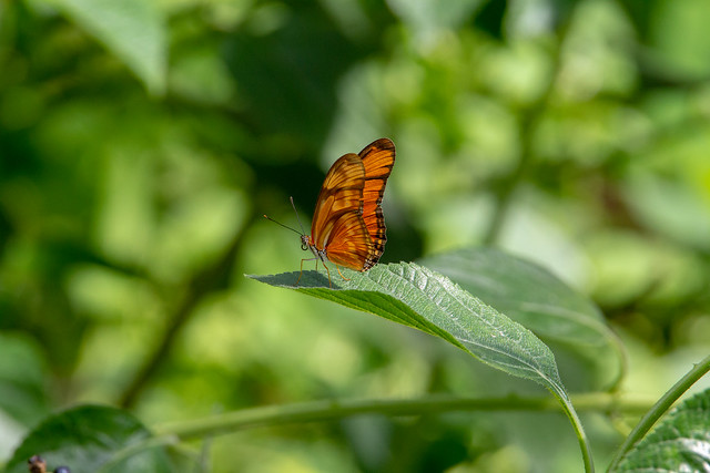 Julia heliconian butterfly (Dryas iulia)