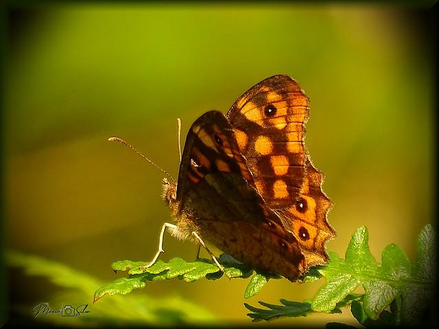 """""""Pararge aegeria"""" é uma borboleta conhecida por malhadinha"""