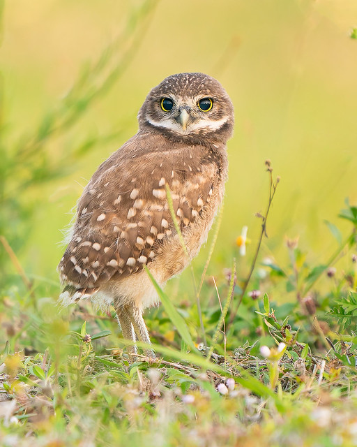 Curiosity of the Burrowing Owlet (Explored, September 9, 2021)