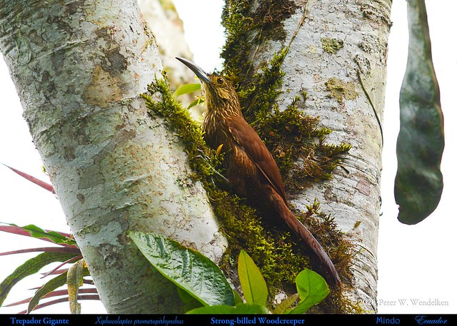 STRONG-BILLED WOODCREEPER Xiphocolaptes promeropirhynchus in Mindo in Northwestern ECUADOR. Photo by Peter Wendelken.