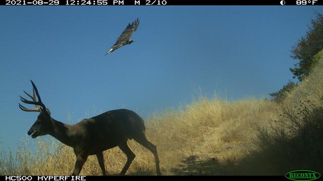 2021-08-29 Golden Eagle & Black Tailed Mule Deer