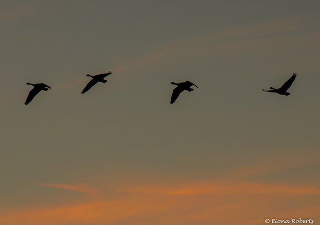 Wild Geese at Sunset