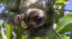 Three-toed Sloth at Manuel Antonio National Park