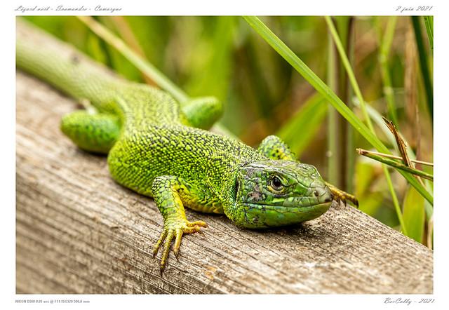 Le lézard vert | Green lizard