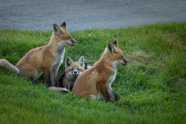 Red fox kits siblings waiting for return of parents.