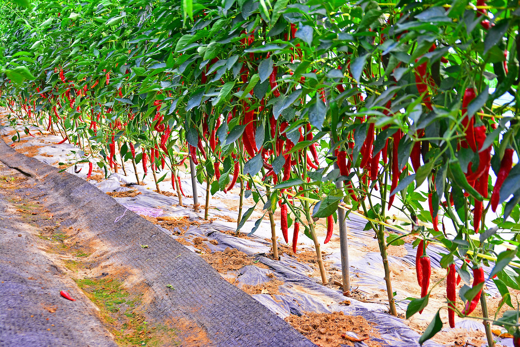 Korean red peppers growing on the vine.