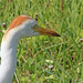 Flickr photo 'Cattle Egret (Bubulcus ibis)' by: Mary Keim.