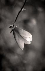 Magnolia in Monochrome