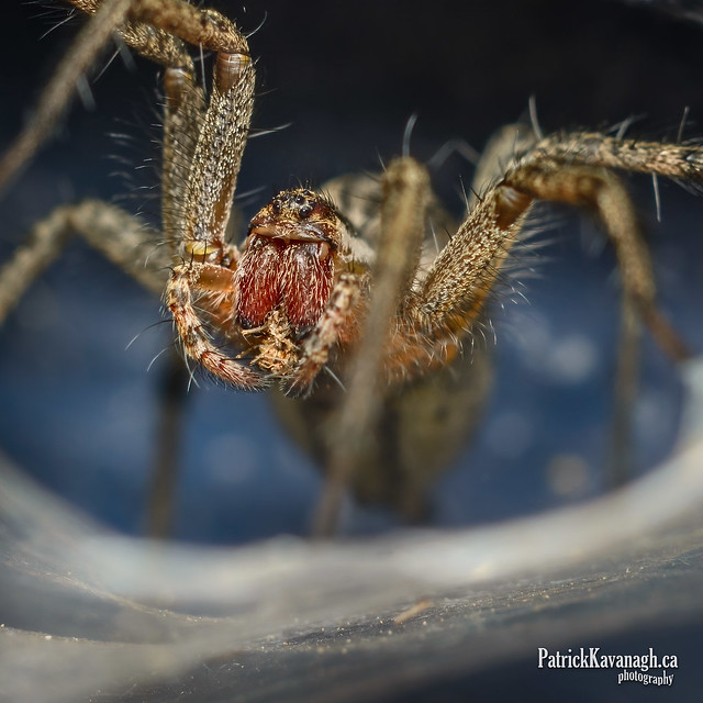 Funnel Spider living behind my mail box....