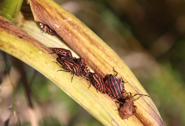 Striped bug / Italian striped bug / Minstrel bug / Graphosoma italicum