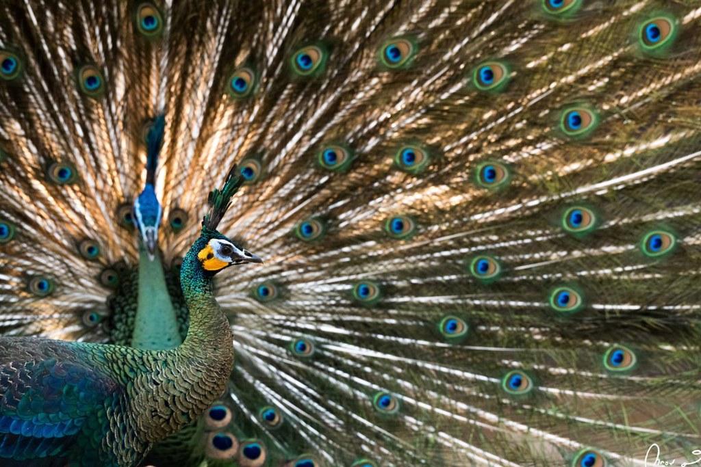 泰國帕堯府,綠孔雀正開屏求偶。圖片來源:Ghan Saridnirun