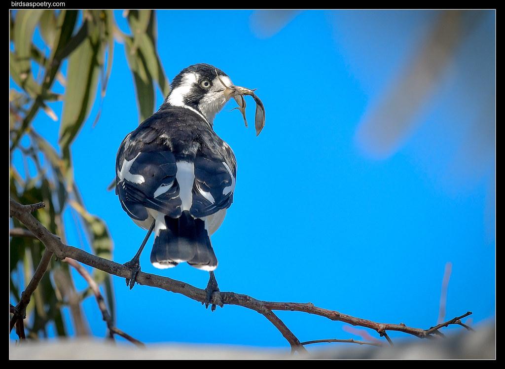 Magpie-Lark: FInishing Touches