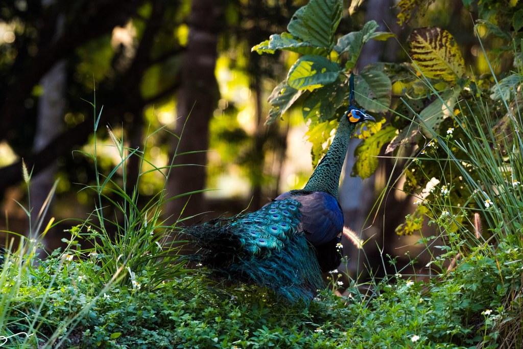 綠孔雀棲息在乾燥龍腦香森林、落葉混合林與松樹混合林下層,擁有豐富灌木與樹苗之處。圖片來源:Ghan Saridnirun