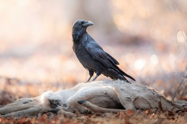 A Raven Having Breakfest by Nathaniel Peck