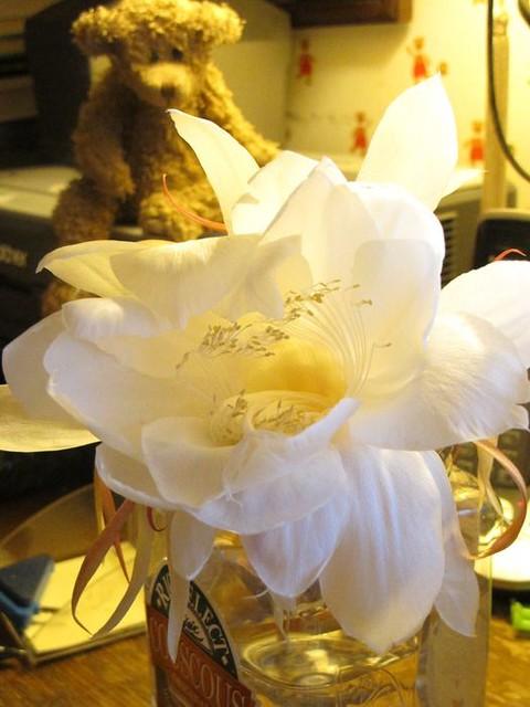 night.blooming.cereus.