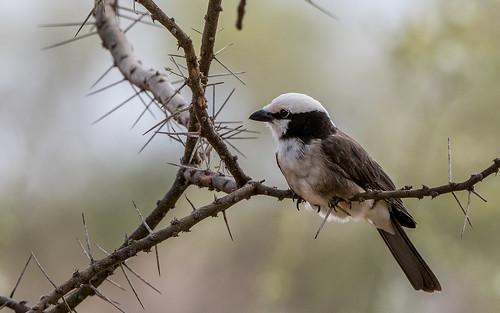Nortern white-crowned shrike - Eurocephalus ruppelli - Rüppells witkruinklauwier