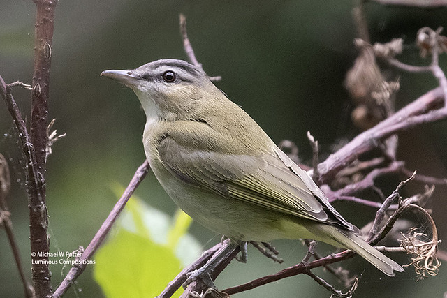Red-eyed Vireo young (brown eyes)